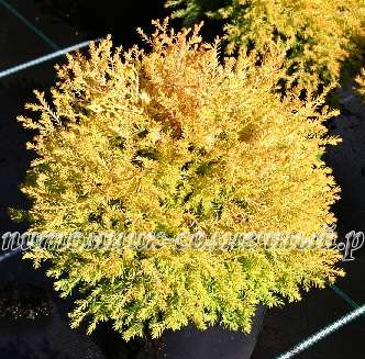 Туя Thuja occidentalis Rheingold (kl-Х-5457-s18-с2)