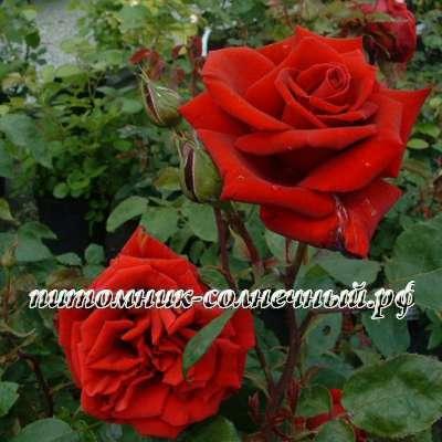 Эротическое фото с розой — photo 10