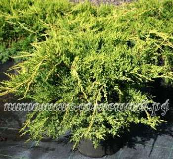 Можжевельник Juniperus media Pfitzeriana Aurea (kl-Х-5164-s19-с2)