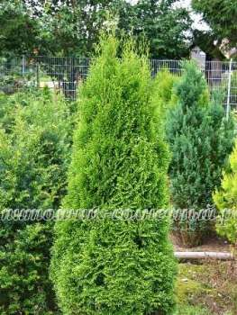 Туя Thuja occidentalis Smaragd (kl-Х-5460-s19-с2)