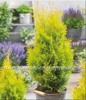 Туя Thuja occidentalis Sunny Smaragd (kl-Х-5469-s19-с2)